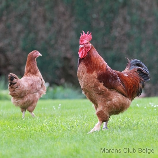 poule marans fauve a queue noire